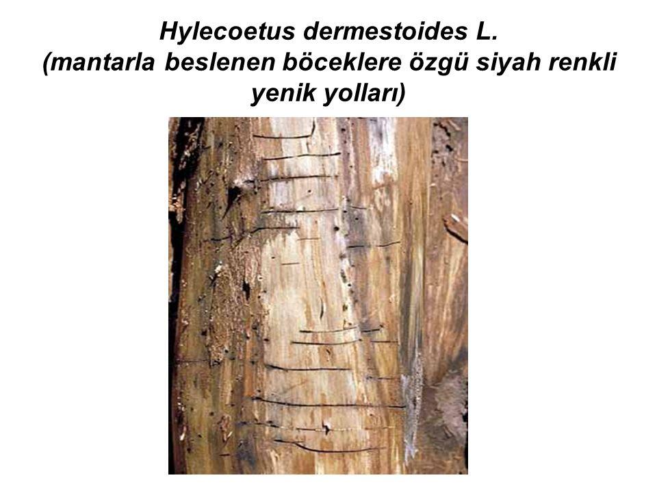 Hylecoetus dermestoides L. (mantarla beslenen böceklere özgü siyah renkli yenik yolları)