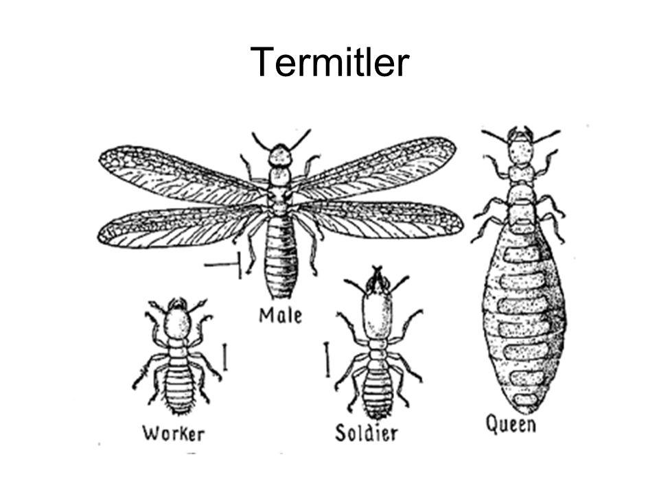 Termitler