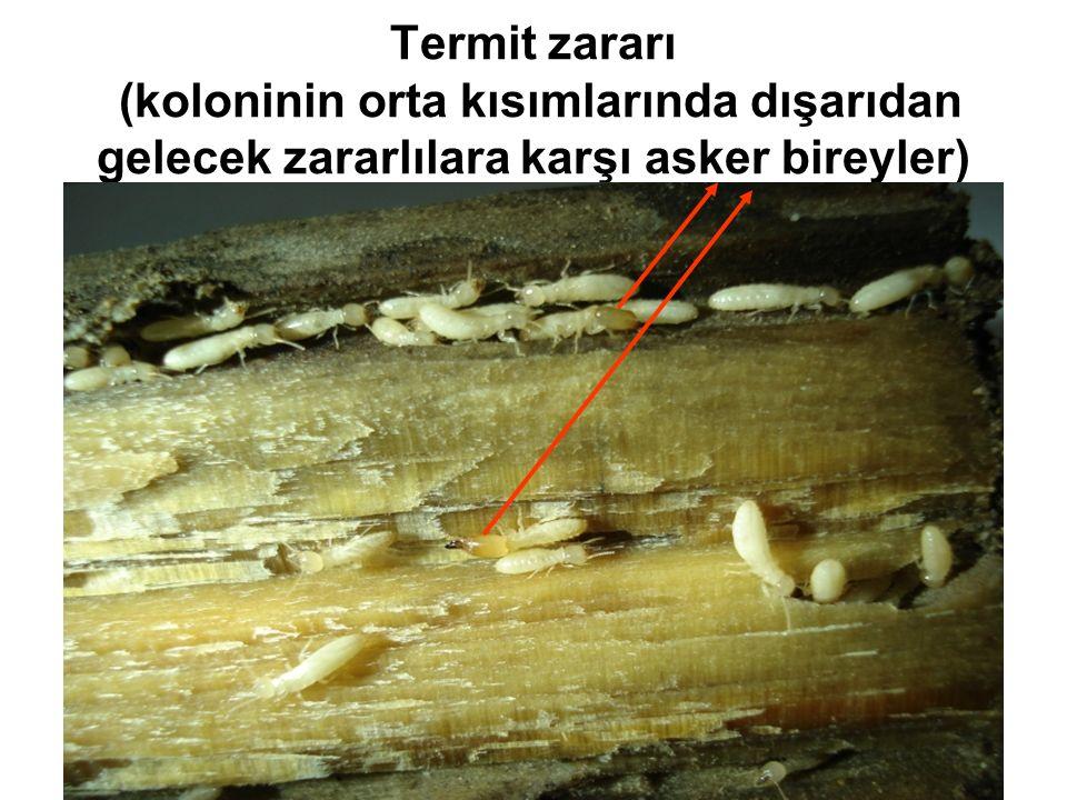 Termit zararı (koloninin orta kısımlarında dışarıdan gelecek zararlılara karşı asker bireyler)