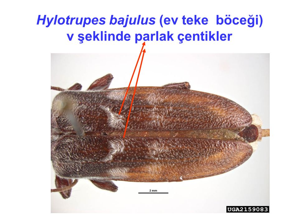 Hylotrupes bajulus (ev teke böceği) v şeklinde parlak çentikler