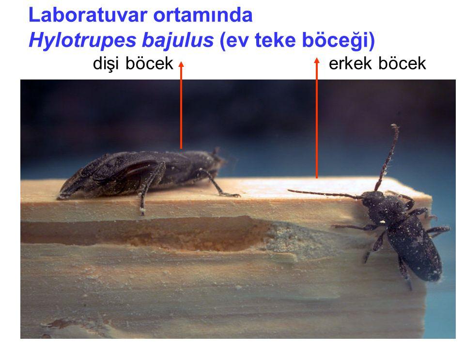 Laboratuvar ortamında Hylotrupes bajulus (ev teke böceği) dişi böcek erkek böcek