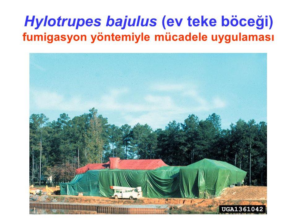 Hylotrupes bajulus (ev teke böceği) fumigasyon yöntemiyle mücadele uygulaması