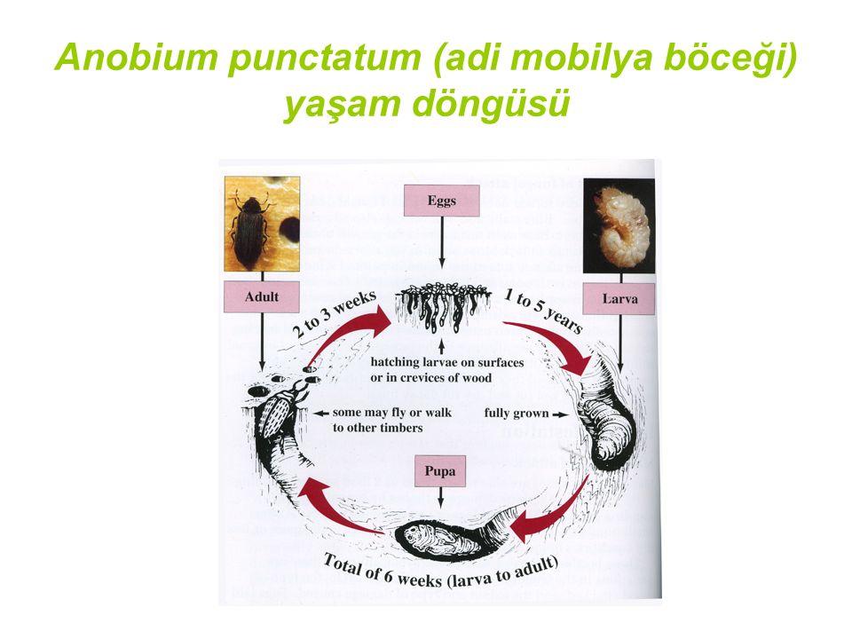 Anobium punctatum (adi mobilya böceği) yaşam döngüsü