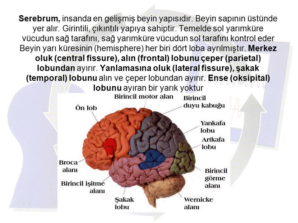 Serebrum, insanda en gelişmiş beyin yapısıdır. Beyin sapının üstünde yer alır. Girintili, çıkıntılı yapıya sahiptir. Temelde sol yarımküre vücudun sağ