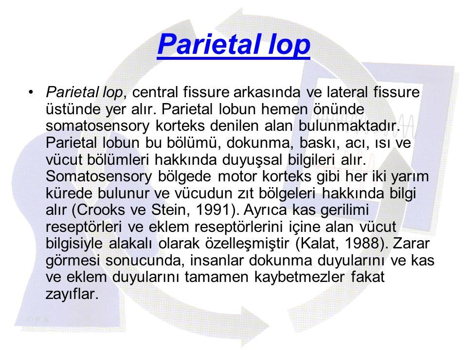 Parietal lop Parietal lop, central fissure arkasında ve lateral fissure üstünde yer alır. Parietal lobun hemen önünde somatosensory korteks denilen al