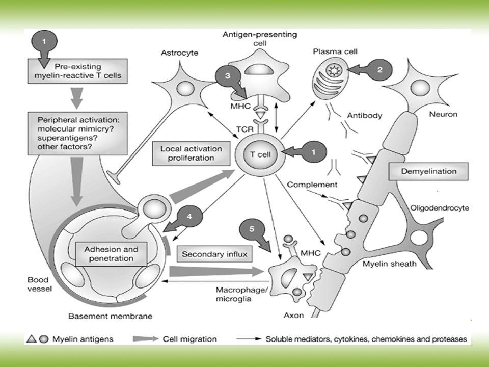 Hohlfeld R et al. (2005) Drug Insight: using monoclonal antibodies to treat multiple sclerosis Nat Clin Pract Neurol 1 34-44 [doi: 10.1038/ncpneuro001