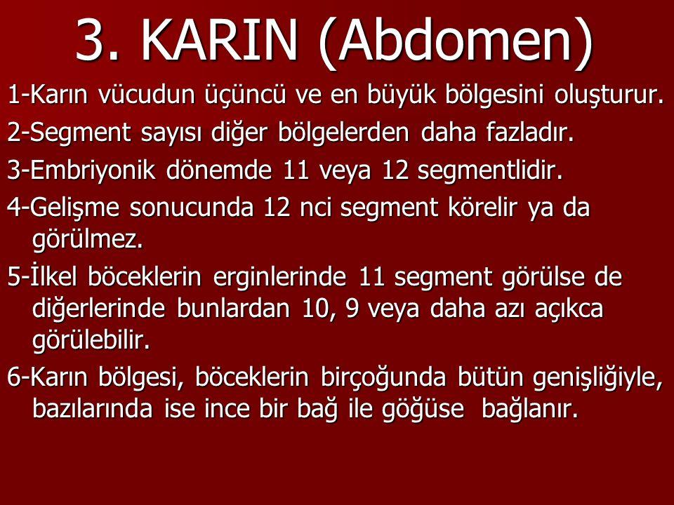 3. KARIN (Abdomen) 1-Karın vücudun üçüncü ve en büyük bölgesini oluşturur.