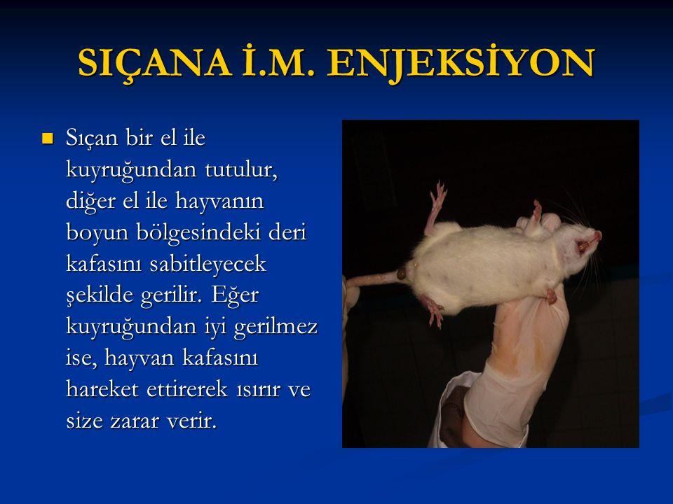 SIÇANA İ.M. ENJEKSİYON Sıçan bir el ile kuyruğundan tutulur, diğer el ile hayvanın boyun bölgesindeki deri kafasını sabitleyecek şekilde gerilir. Eğer