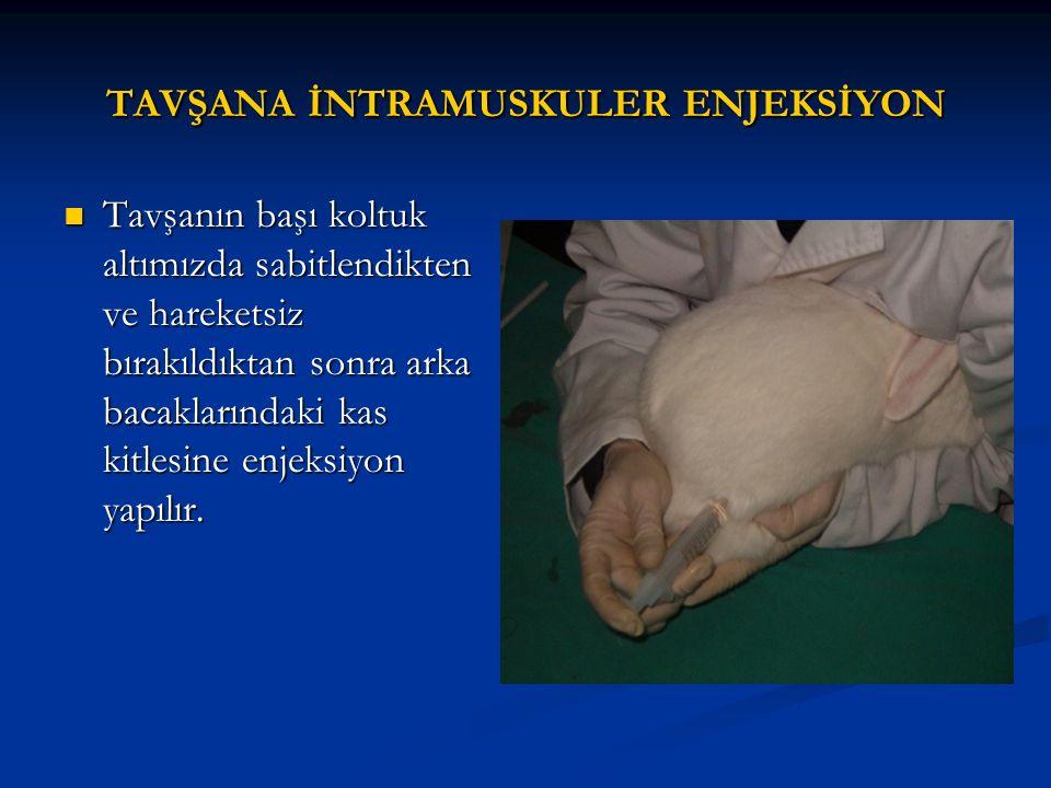 TAVŞANA İNTRAMUSKULER ENJEKSİYON Tavşanın başı koltuk altımızda sabitlendikten ve hareketsiz bırakıldıktan sonra arka bacaklarındaki kas kitlesine enjeksiyon yapılır.