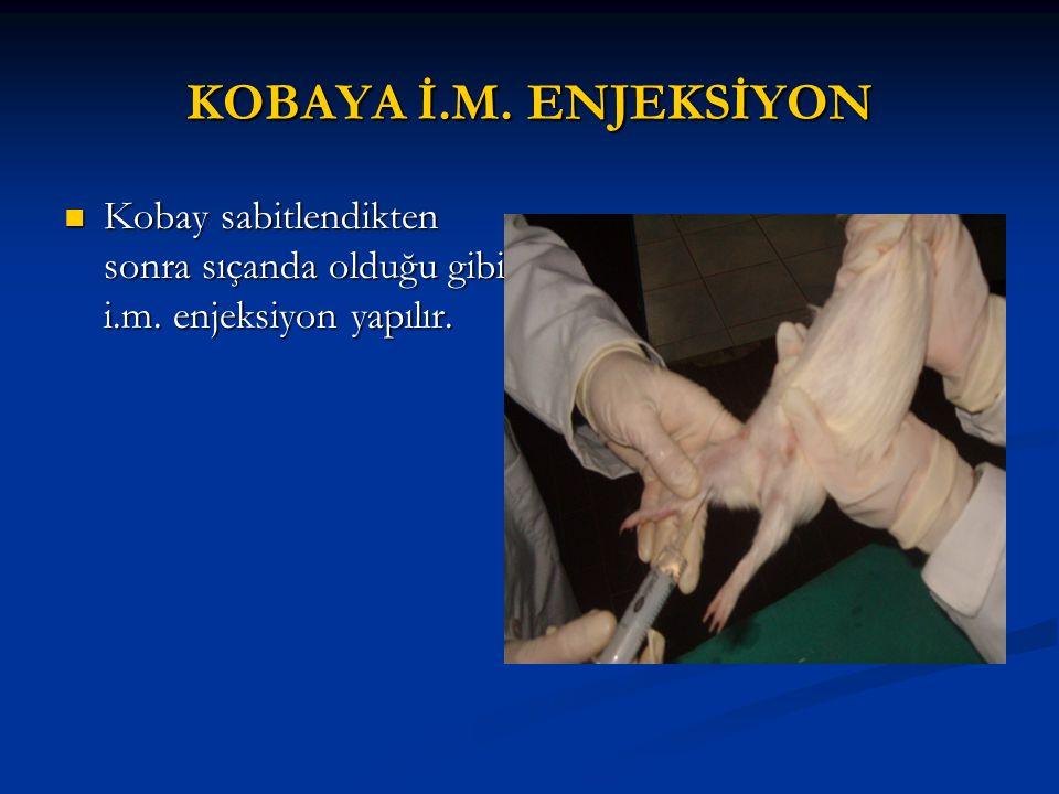 KOBAYA İ.M. ENJEKSİYON Kobay sabitlendikten sonra sıçanda olduğu gibi i.m. enjeksiyon yapılır. Kobay sabitlendikten sonra sıçanda olduğu gibi i.m. enj