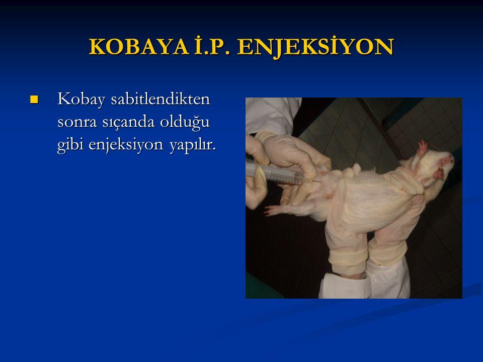 KOBAYA İ.P. ENJEKSİYON Kobay sabitlendikten sonra sıçanda olduğu gibi enjeksiyon yapılır. Kobay sabitlendikten sonra sıçanda olduğu gibi enjeksiyon ya