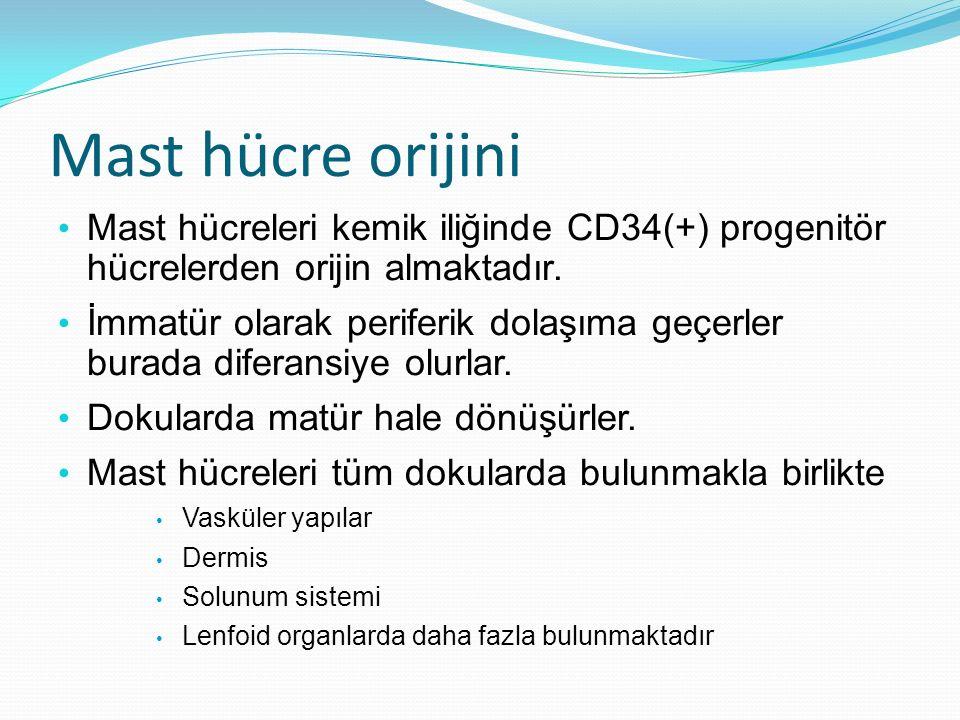 Mast hücre orijini Mast hücreleri kemik iliğinde CD34(+) progenitör hücrelerden orijin almaktadır. İmmatür olarak periferik dolaşıma geçerler burada d