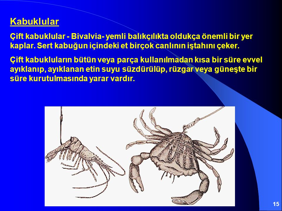 15 Kabuklular Çift kabuklular - Bivalvia- yemli balıkçılıkta oldukça önemli bir yer kaplar. Sert kabuğun içindeki et birçok canlının iştahını çeker. Ç