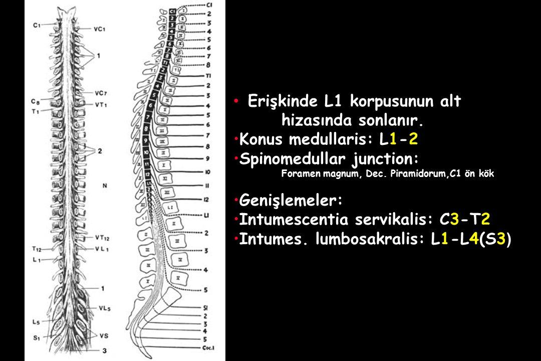 Erişkinde L1 korpusunun alt hizasında sonlanır. Konus medullaris: L1-2 Spinomedullar junction: Foramen magnum, Dec. Piramidorum,C1 ön kök Genişlemeler