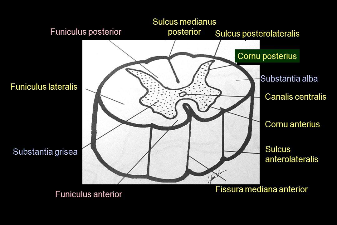 Sulcus medianus posterior Sulcus medianus posterior Sulcus posterolateralis Cornu posterius Canalis centralis Substantia alba Substantia grisea Funicu