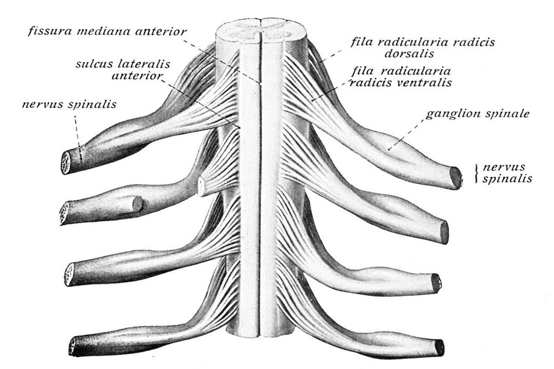 Rubrospinal traktus İNEN YOLLAR TCSL (Piramidal yol) TCSA MLF Medial tektospinal traktus Medial tektospinal traktus Vestibulospinal traktus Medial retikulospinal traktus Lateral tektospinal traktus Lateral retikulospinal traktus Rafespinal traktus