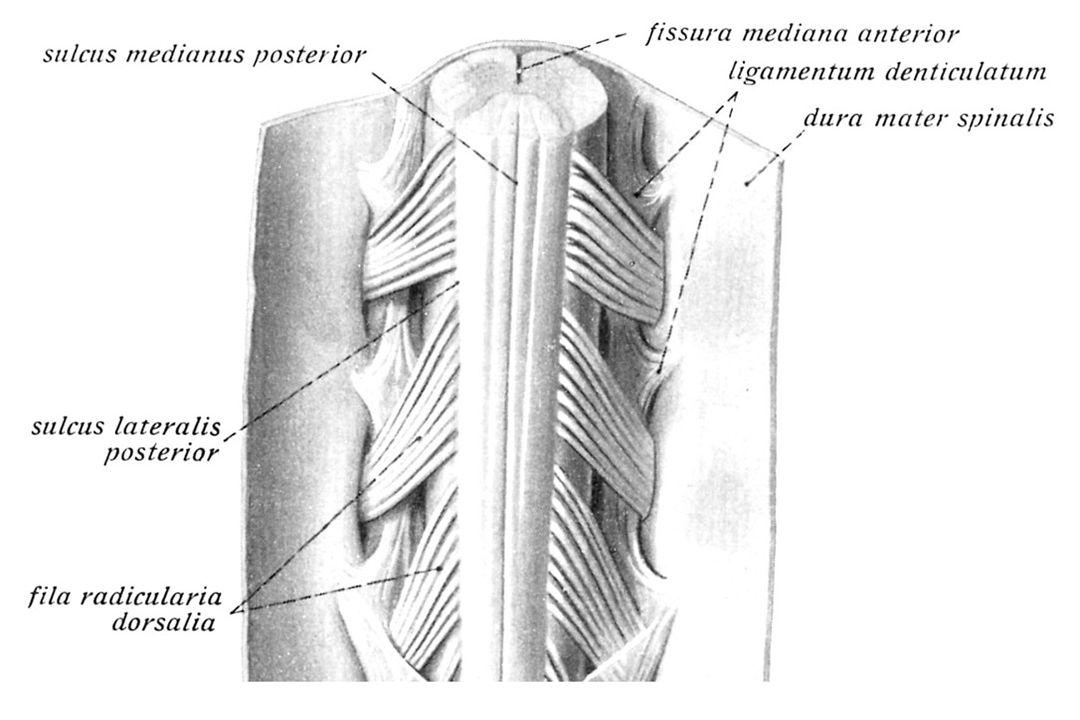 ALS Klinik: - Ön boynuz motor nöronlar: Alt MN bulguları: Kuvvetsizlik, Progresif muskuler atrofi, Fasikülasyon.