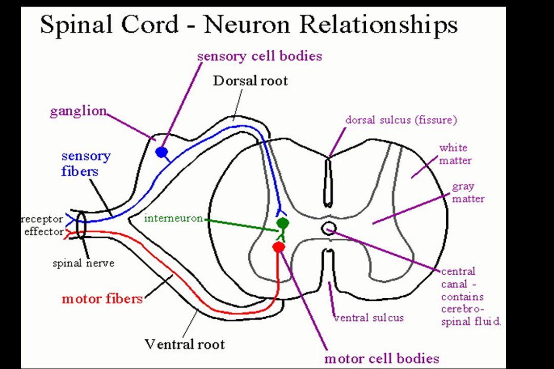 SPİNAL KORD hastalıklarında TEDAVİ Akut dönemde hasarın ilerlemesine engel olmak ve genel komplikasyonlarla mücadele esastır.