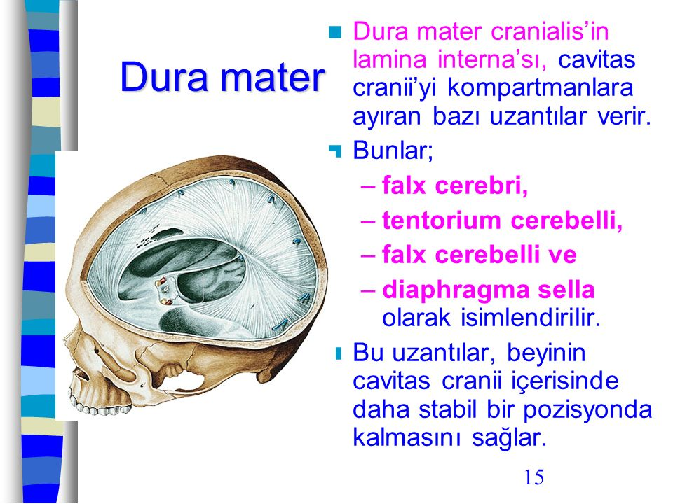15 Dura mater Dura mater cranialis'in lamina interna'sı, cavitas cranii'yi kompartmanlara ayıran bazı uzantılar verir. Bunlar; –falx cerebri, –tentori