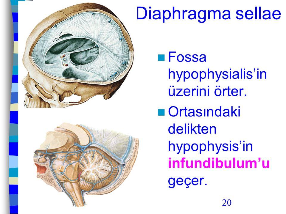 20 Diaphragma sellae Fossa hypophysialis'in üzerini örter. Ortasındaki delikten hypophysis'in infundibulum'u geçer.