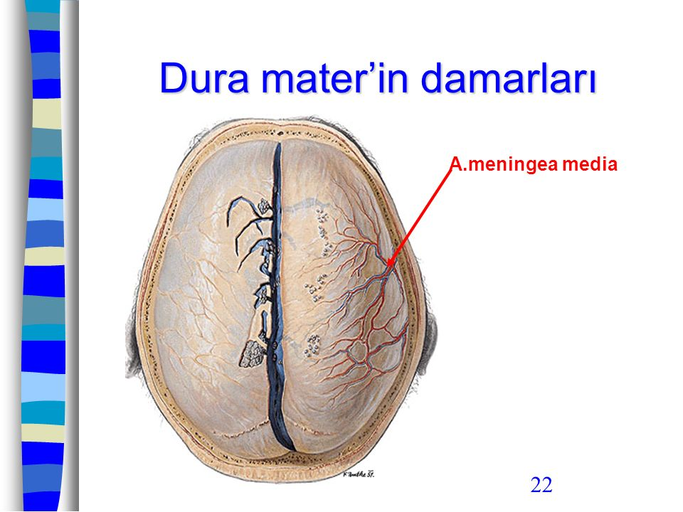 22 Dura mater'in damarları A.meningea media