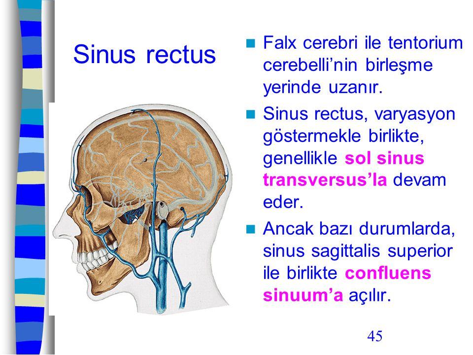 45 Sinus rectus Falx cerebri ile tentorium cerebelli'nin birleşme yerinde uzanır. Sinus rectus, varyasyon göstermekle birlikte, genellikle sol sinus t