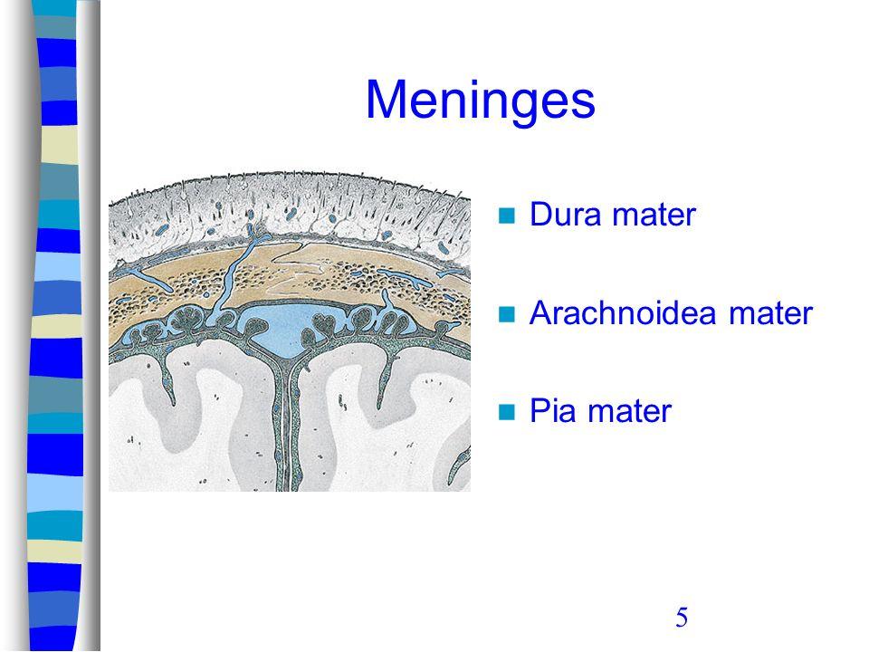 5 Meninges Dura mater Arachnoidea mater Pia mater