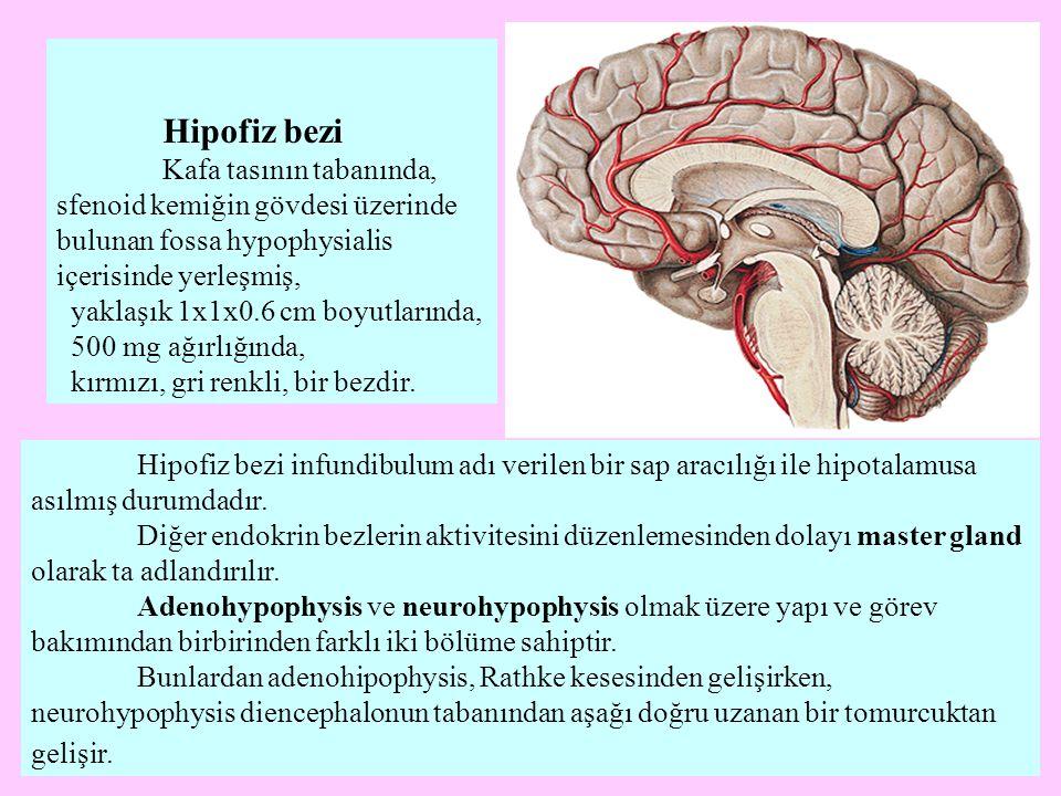 Hipofiz bezi Kafa tasının tabanında, sfenoid kemiğin gövdesi üzerinde bulunan fossa hypophysialis içerisinde yerleşmiş, yaklaşık 1x1x0.6 cm boyutların