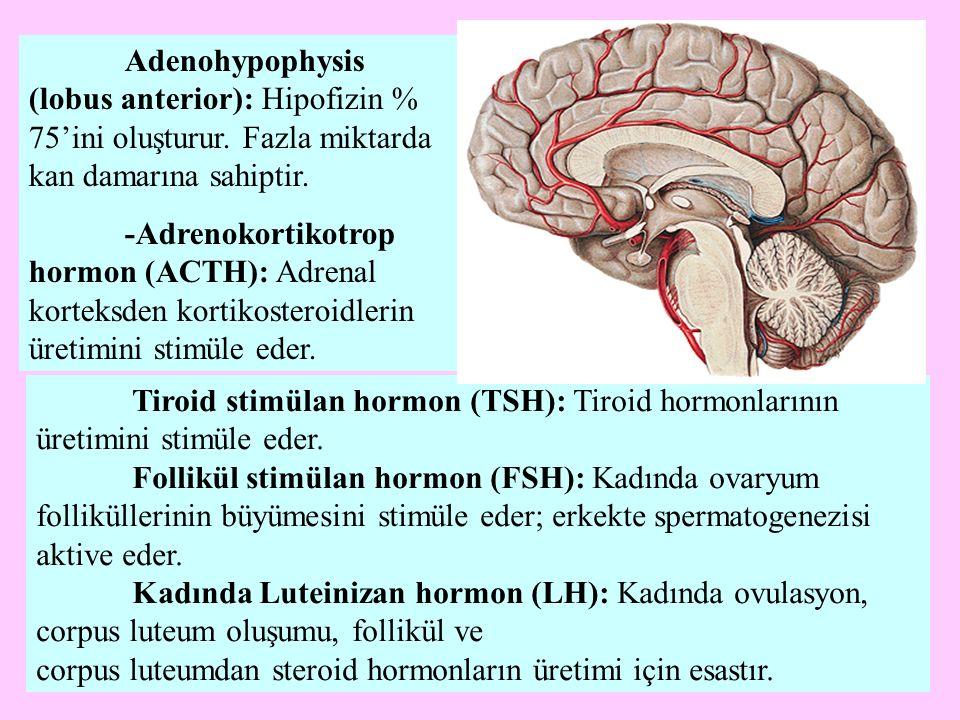 Tiroid stimülan hormon (TSH): Tiroid hormonlarının üretimini stimüle eder. Follikül stimülan hormon (FSH): Kadında ovaryum folliküllerinin büyümesini