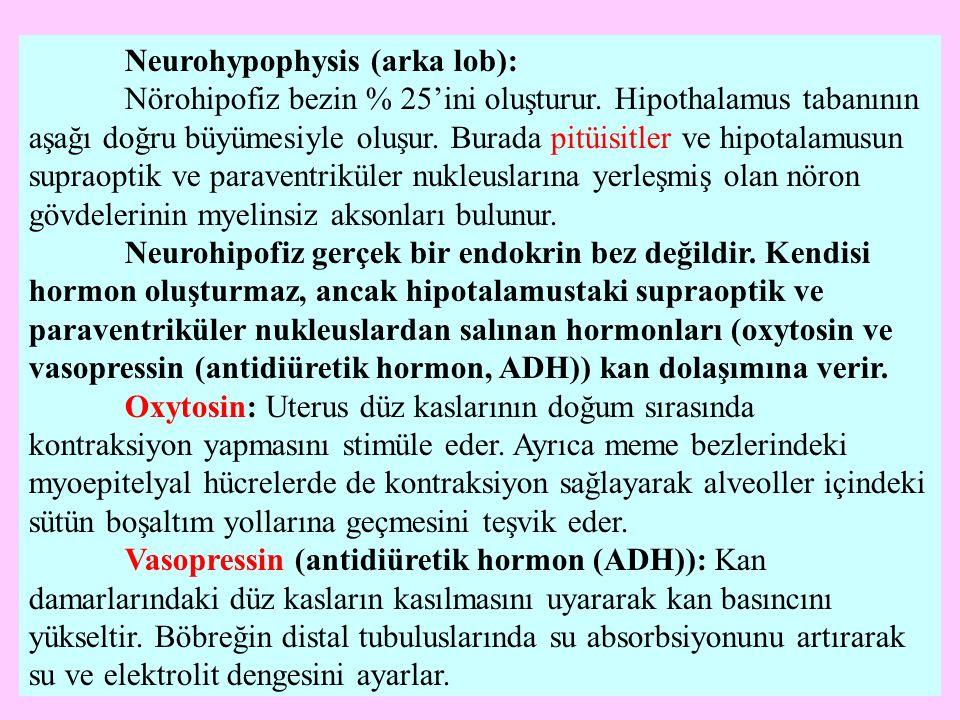 Neurohypophysis (arka lob): Nörohipofiz bezin % 25'ini oluşturur. Hipothalamus tabanının aşağı doğru büyümesiyle oluşur. Burada pitüisitler ve hipotal