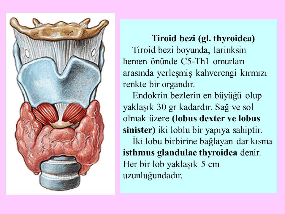 Tiroid bezi (gl. thyroidea) Tiroid bezi boyunda, larinksin hemen önünde C5-Th1 omurları arasında yerleşmiş kahverengi kırmızı renkte bir organdır. End