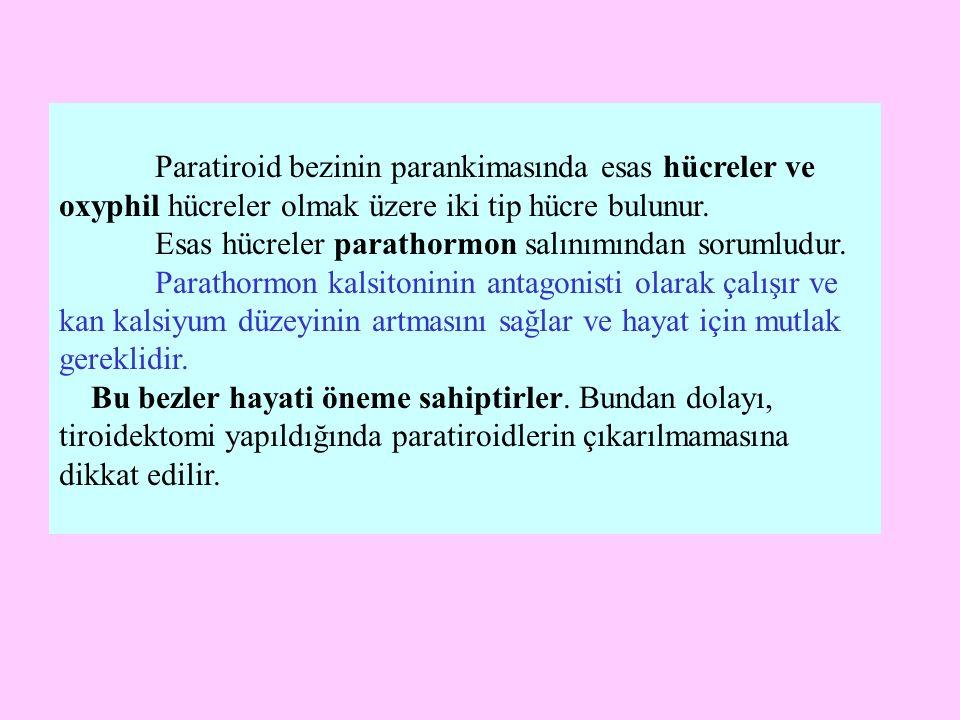 Paratiroid bezinin parankimasında esas hücreler ve oxyphil hücreler olmak üzere iki tip hücre bulunur. Esas hücreler parathormon salınımından sorumlud