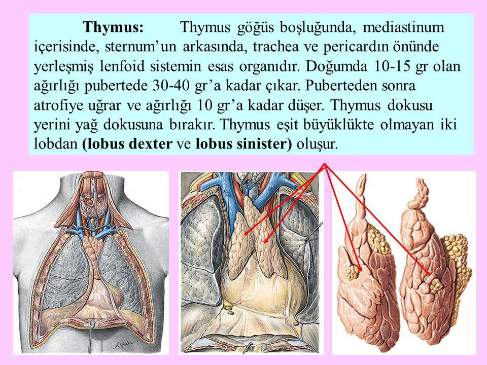 Thymus dokusu fibröz bir kapsülle sarılmıştır.