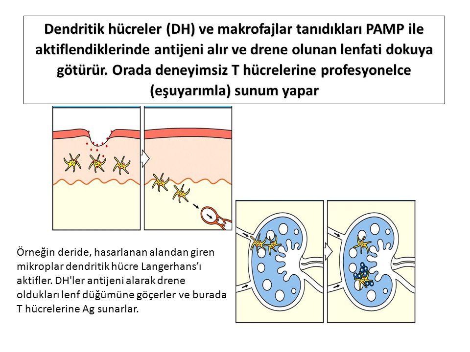 Örneğin deride, hasarlanan alandan giren mikroplar dendritik hücre Langerhans'ı aktifler.
