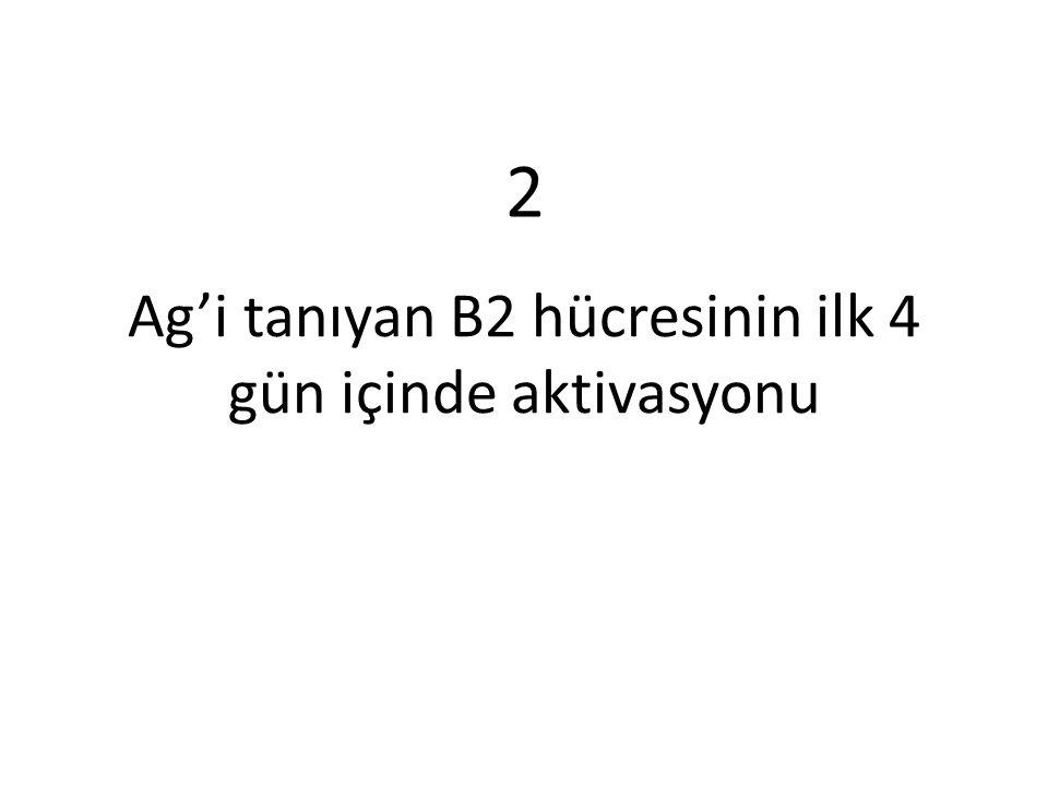 Ag'i tanıyan B2 hücresinin ilk 4 gün içinde aktivasyonu 2