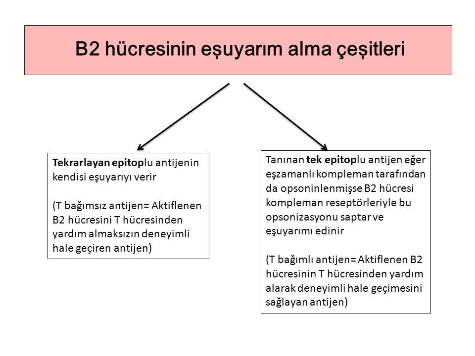 B2 hücresinin eşuyarım alma çeşitleri Tekrarlayan epitoplu antijenin kendisi eşuyarıyı verir (T bağımsız antijen= Aktiflenen B2 hücresini T hücresinden yardım almaksızın deneyimli hale geçiren antijen) Tanınan tek epitoplu antijen eğer eşzamanlı kompleman tarafından da opsoninlenmişse B2 hücresi kompleman reseptörleriyle bu opsonizasyonu saptar ve eşuyarımı edinir (T bağımlı antijen= Aktiflenen B2 hücresinin T hücresinden yardım alarak deneyimli hale geçimesini sağlayan antijen)