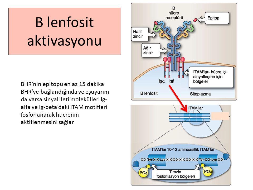 B lenfosit aktivasyonu BHR'nin epitopu en az 15 dakika BHR'ye bağlandığında ve eşuyarım da varsa sinyal ileti molekülleri Ig- alfa ve Ig-beta'daki ITAM motifleri fosforlanarak hücrenin aktiflenmesini sağlar
