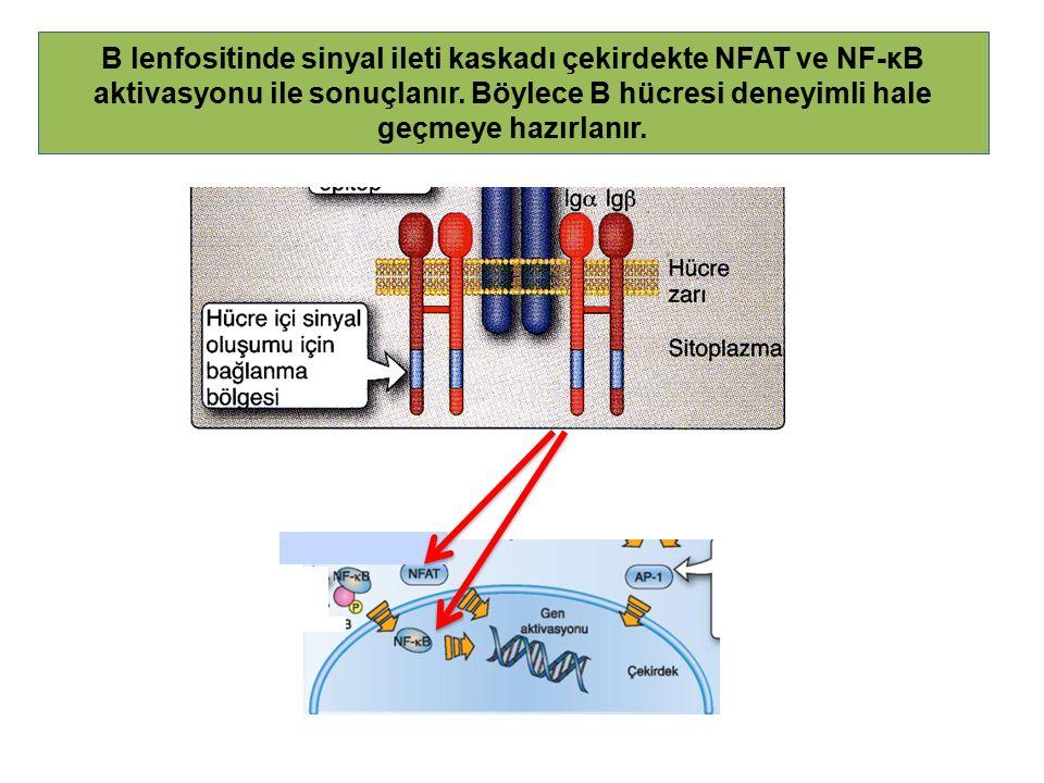 B lenfositinde sinyal ileti kaskadı çekirdekte NFAT ve NF-κB aktivasyonu ile sonuçlanır.