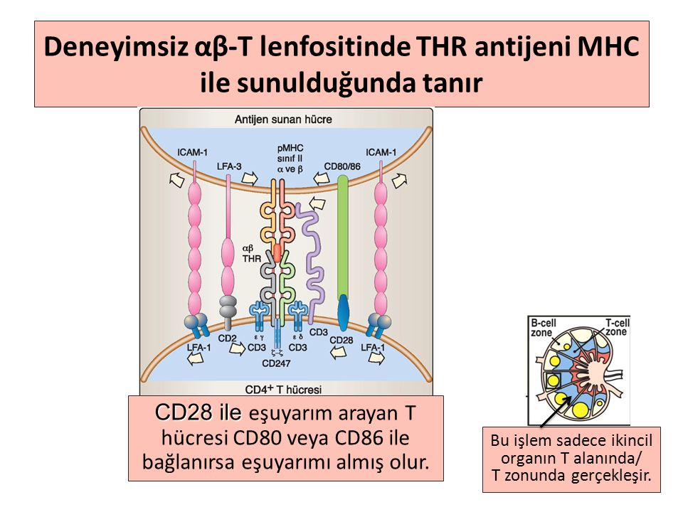 Deneyimsiz αβ-T lenfositinde THR antijeni MHC ile sunulduğunda tanır Bu işlem sadece ikincil organın T alanında/ T zonunda gerçekleşir.