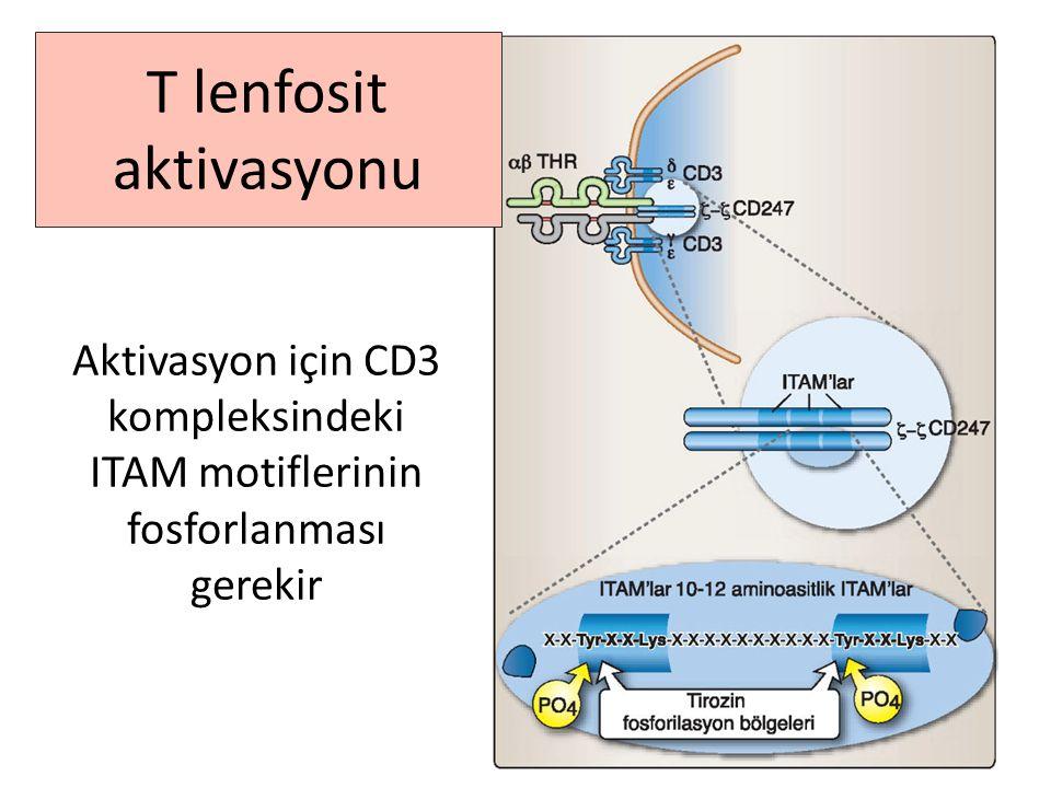Aktivasyon için CD3 kompleksindeki ITAM motiflerinin fosforlanması gerekir T lenfosit aktivasyonu