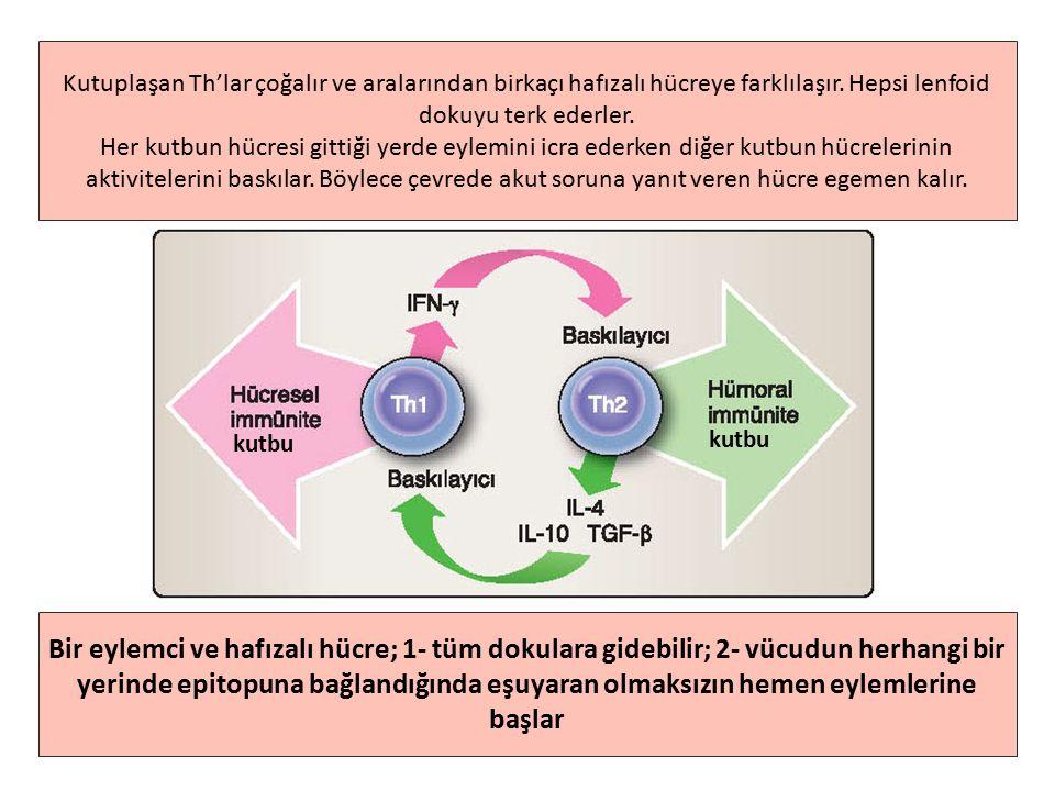 Kutuplaşan Th'lar çoğalır ve aralarından birkaçı hafızalı hücreye farklılaşır.