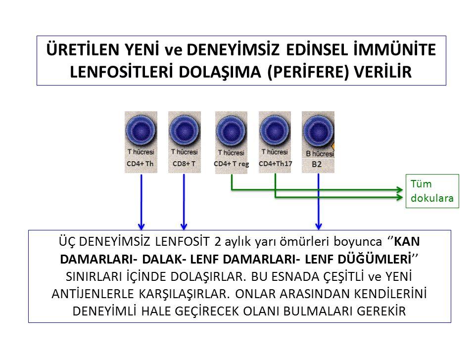 Periferal Tolerans (periferal ayıklanma) 4
