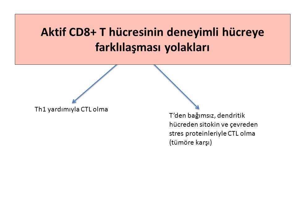 Th1 yardımıyla CTL olma T'den bağımsız, dendritik hücreden sitokin ve çevreden stres proteinleriyle CTL olma (tümöre karşı) Aktif CD8+ T hücresinin deneyimli hücreye farklılaşması yolakları