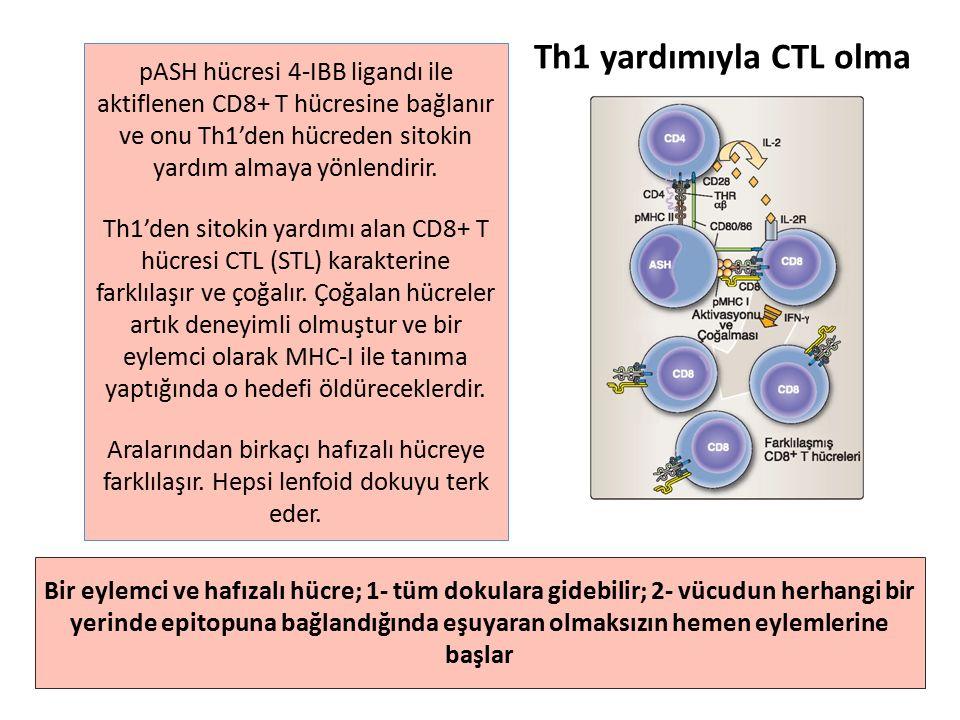 pASH hücresi 4-IBB ligandı ile aktiflenen CD8+ T hücresine bağlanır ve onu Th1'den hücreden sitokin yardım almaya yönlendirir.