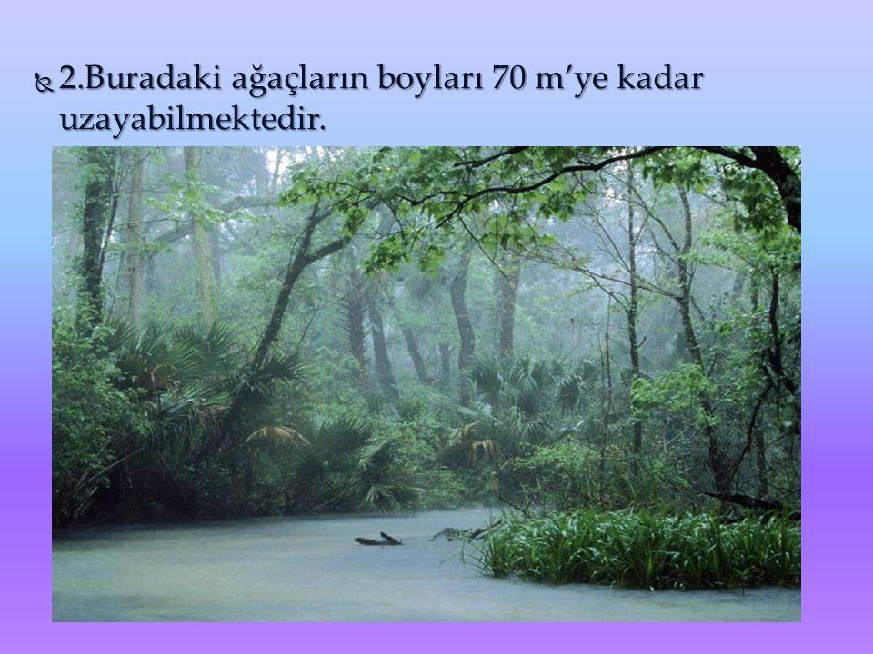  2.Buradaki ağaçların boyları 70 m'ye kadar uzayabilmektedir.