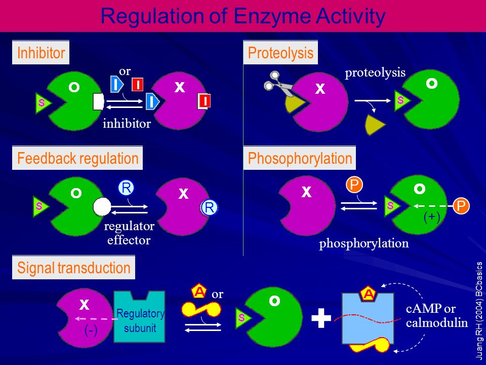 Regulatory subunit Regulation of Enzyme Activity P R R + or inhibitor proteolysis phosphorylation cAMP or calmodulin or regulator effector P (-) (+) I
