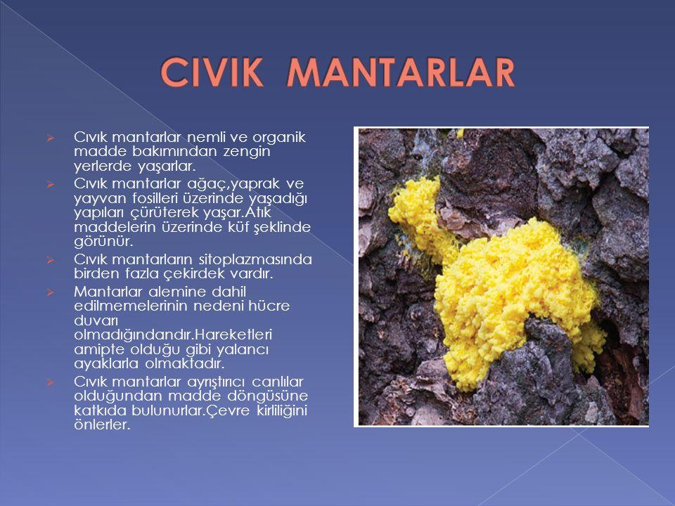  Cıvık mantarlar nemli ve organik madde bakımından zengin yerlerde yaşarlar.