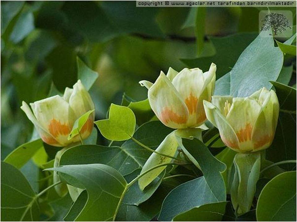 B.MAKİ Akdeniz ikliminin görüldüğü yerlerde, kızılçam ve meşe ormanlarının tahrip edilmesiyle ortaya çıkan, bodur ağaç ve çalılardan oluşan bitki örtüsüdür.