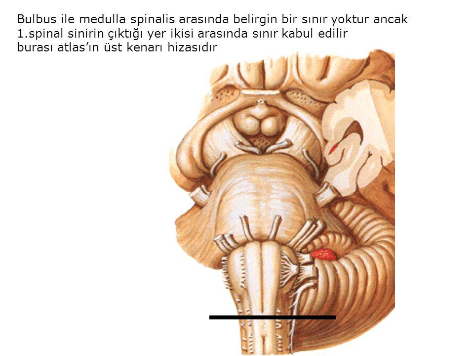 Medulla oblongata ile pons arasındaki sınırı ön yüzde sulcus bulbopontinus Arka yüzde ise ventriculus quartus' un recessus lateralis'lerini birleştiren çizgi belirler ön arka