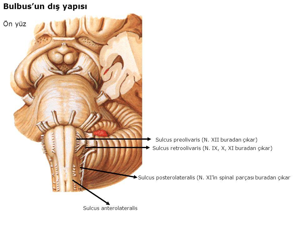 Bulbus'un dış yapısı arka yüz Tuberculum gracile (içerisinde nucleus gracilis bulunur) (Bu nükleus'a fasciculus gracilis (Goll huzmesi gelir) Tuberculum cuneatum (içerisinde nucleus cuneatus bulunur) (Bu nükleus'a fasciculus cuneatus (Burdach huzmesi gelir) fasciculus cuneatus fasciculus gracilis
